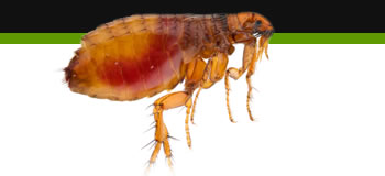 bed bug removal loughborough