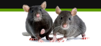 rat removal loughborough